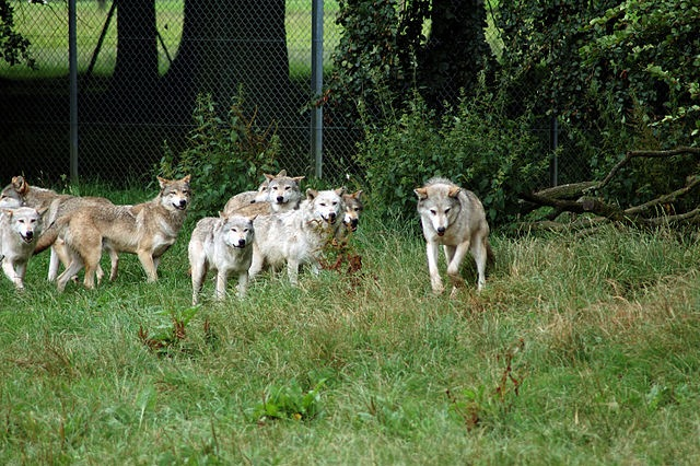 "Observations of captive wolves in unnatural groupings led to ""pack theory"""