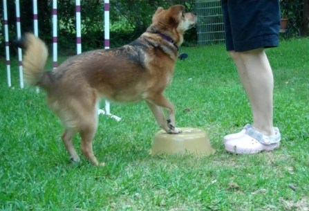 sable colored dog has her front feet on an inverted yellow plastic basin, preparing to spin her rear end around