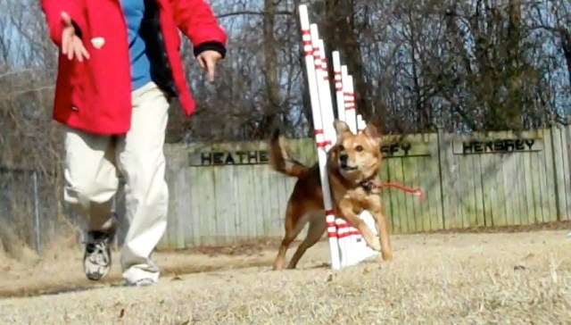 A brown dog is exiting a set of weave poles, with her eyes on a piece of white bread that her handler is throwing ahead