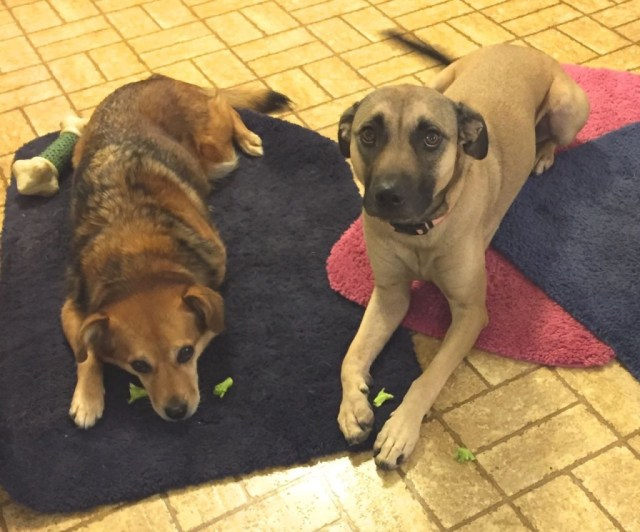 Dogs Summer and Clara have determined that broccoli is not reinforcing and might be aversive.