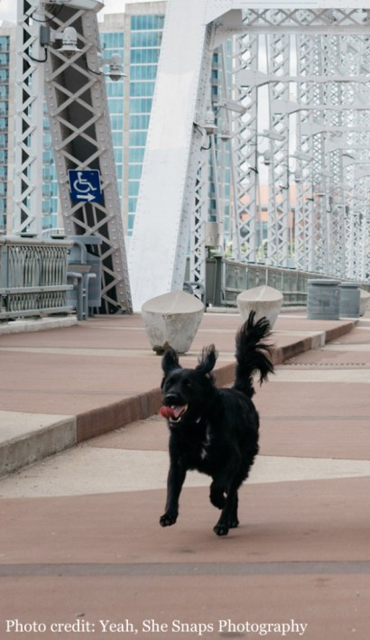 Black dog BooBoo, survivor of Rocky Mountain Spotted Fever, joyfully running on a bridge