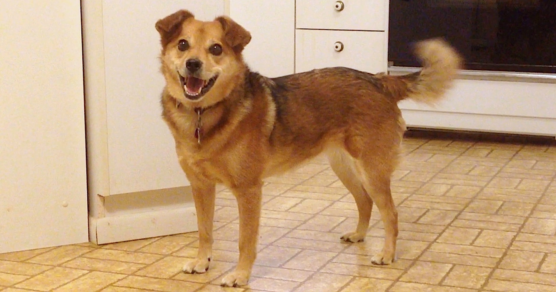 Brown, sable, mixed breed dog standing in a kitchen looking happy