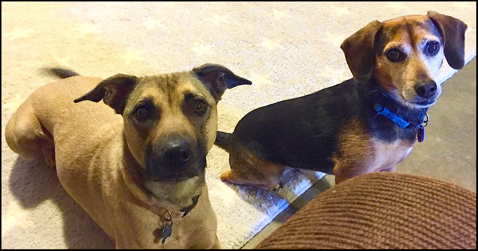 tan dog with black muzzle and smaller black dog stare at the camera expectantly