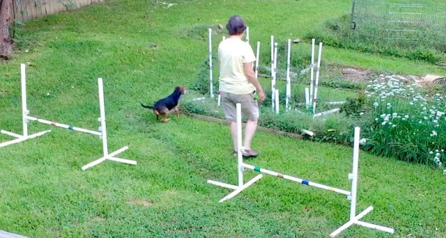 Eileen and little black hound dog Zani during agility training, with Zani zooming into a flower bed