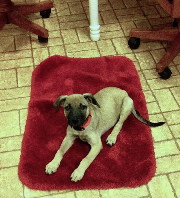 Tan puppy with black face lying on a red bathmat