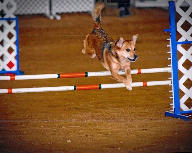 sable dog jumping an agility jump with happy look on her face showing the joy in agility
