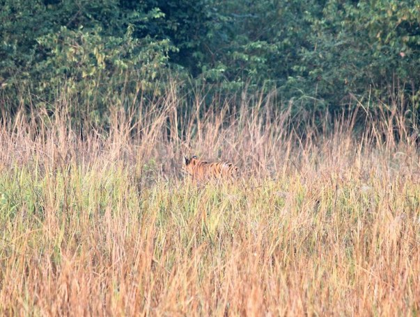 Tiger camoflauged in tall grass. Tigers are ambush predators and are reinforced on a variable interval schedule.