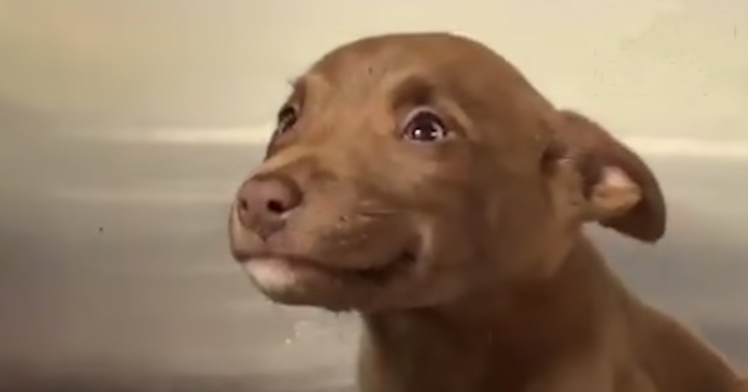brown puppy shows a submissive grin