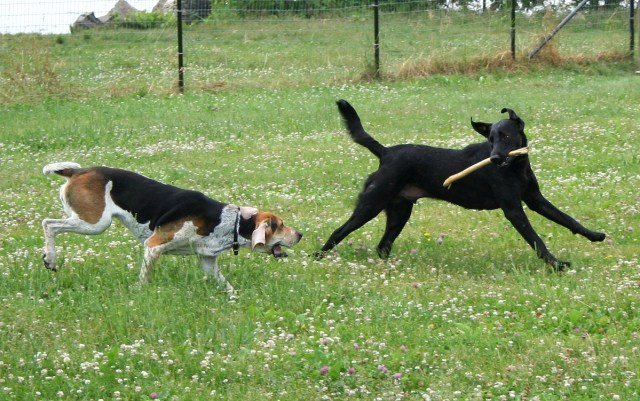 foxhound and black lab playing in a field