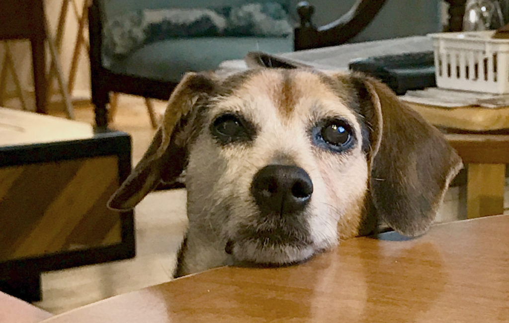 Zani, a brown and black beagle mix, gazes with her chin on the table