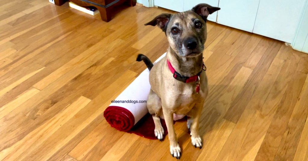 Tan dog with black muzzle sits next to a tightly rolled up maroon carpet. She is sitting on the tiny part of it that is not unrolled.