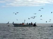 Calling all pelicans