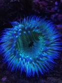 Blue Anenome