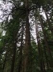Redwoods towering above the trail