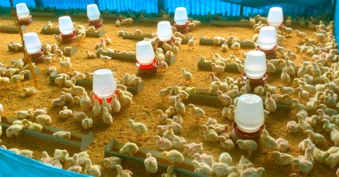 Birds in brooding area - Coccidiosis in Chickens