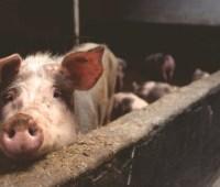 Эпидемия чумы свиней распространяется по миру и продлится десятки лет — Bloomberg