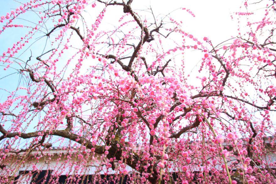 高知城の「しだれ梅」