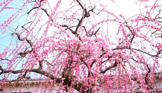 2月に咲く高知城の「しだれ梅」が見頃。
