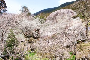 「土佐山 / 嫁石の梅祭り」まるで梅の絨毯!山肌を覆う梅の花。