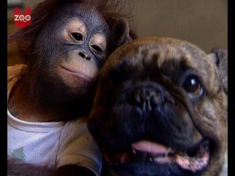 Fransk bulldog og orangutang er venner for livet!