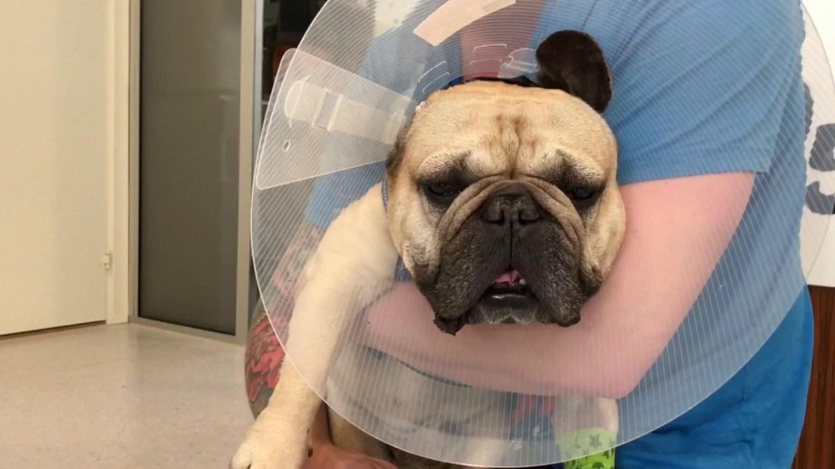 Full hund våkner etter narkosen hos veterinæren