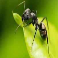 Ant - Hormiga