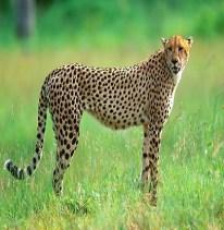 Cheetah - Guepardo