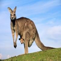 Kangaroo - Canguro