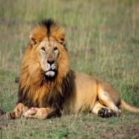 Lion - León