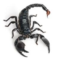 Scorpion - Escorpión