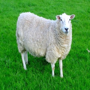 Sheep - Oveja