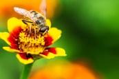 Wespe m Blume