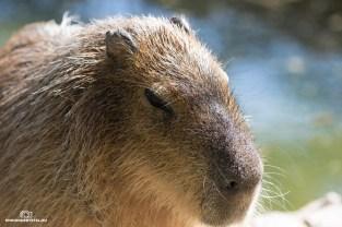 Capybara/Wasserschwein