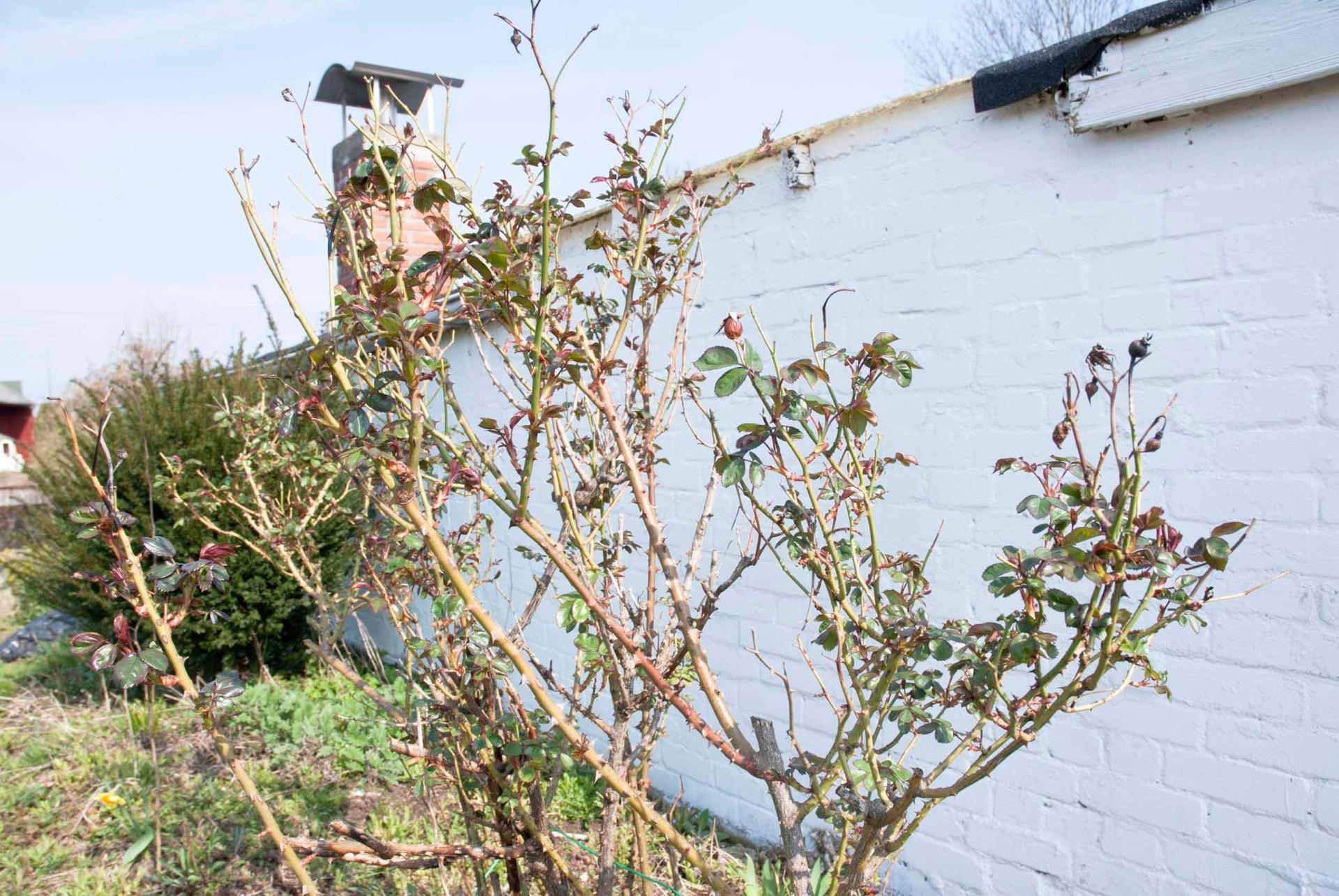Rosen schneiden: eine Rose, die einen Schnitt nötig hat, vor einer geweißelten Ziegelsteinwand.