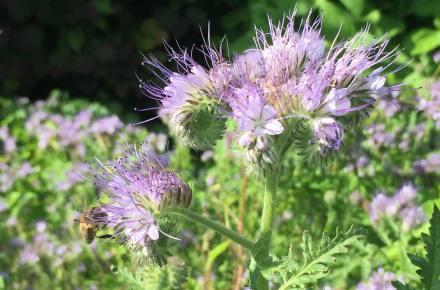 Bienenfreund-mit-Biene