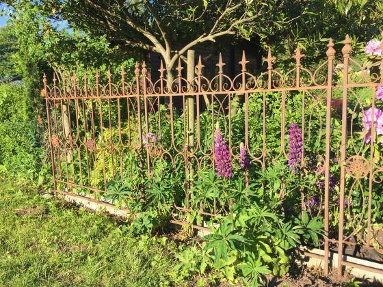 Garten im Juni: eine Lupine blüht vor einem Gartenzaun aus Gusseisen.