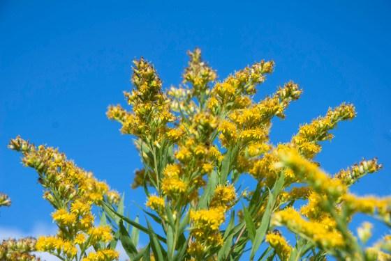 Blüten einer Goldrute vor blauem Himmel