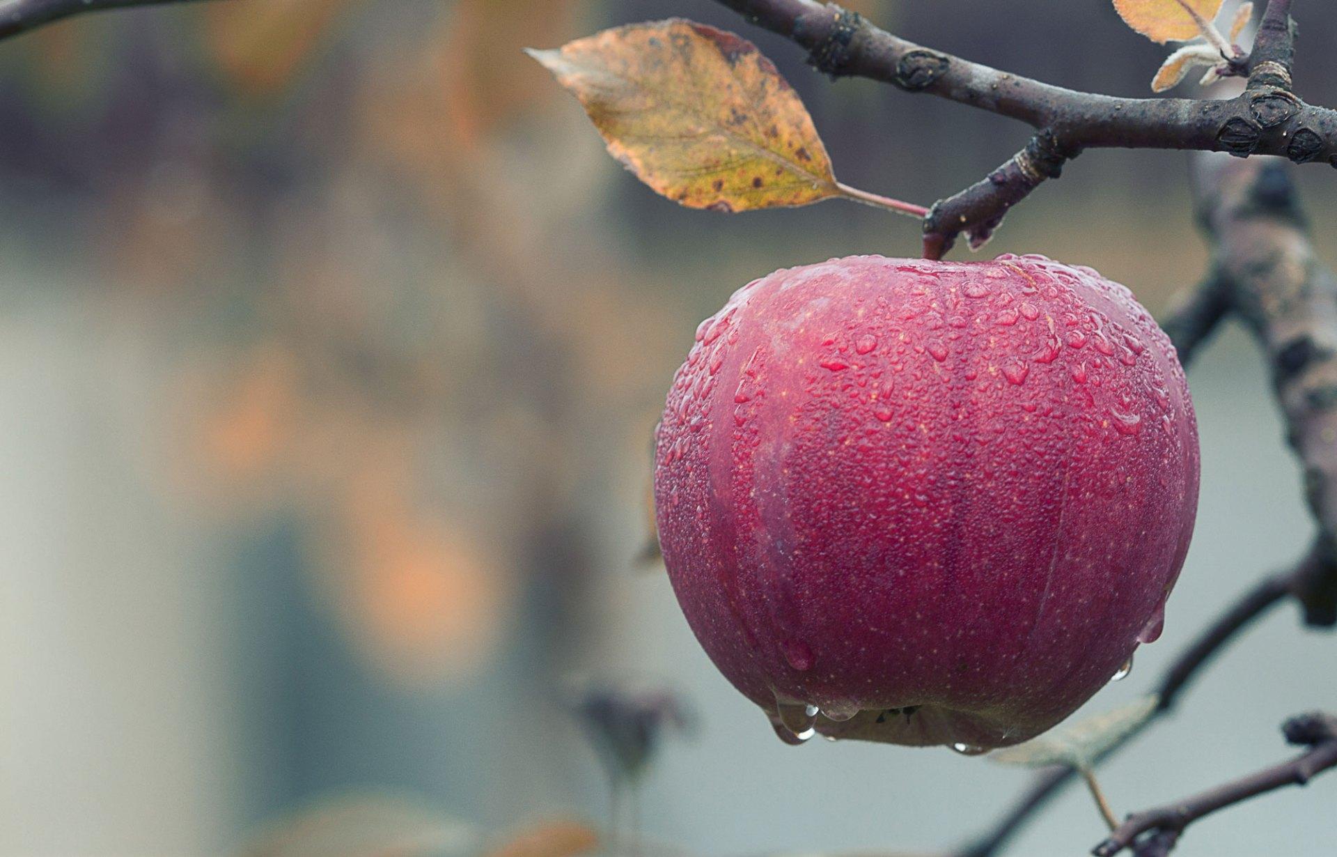Ein roter Apfel hängt an einem Apfelbaum, auf ihm sind Tautropfen zu sehen.