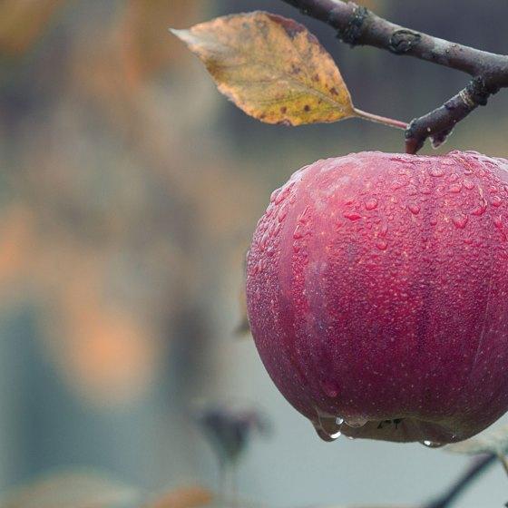 Ein roter Apfel hängt an einem Apfelbaum, auf ihrem sind Tropfen zu sehen.