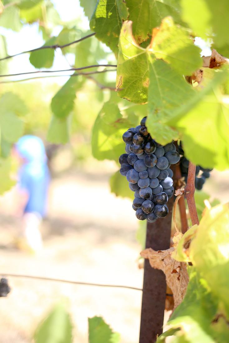 Languedoc, Weingegend, Weinrebe, Reisen mit Kind, Frankreichreise