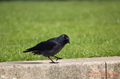 Eurasain jackdaw (Corvus monedula) - Copenhagen