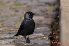 Eurasian jackdaw (Corvus monedula) - Copenhagen