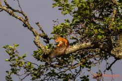 Red squirrel, Seurasaari