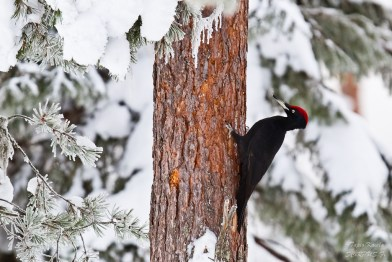 Black woodpecker - Oulanka National Park (Tapio Kaisla, frm Flickr, under Creative Commons license)