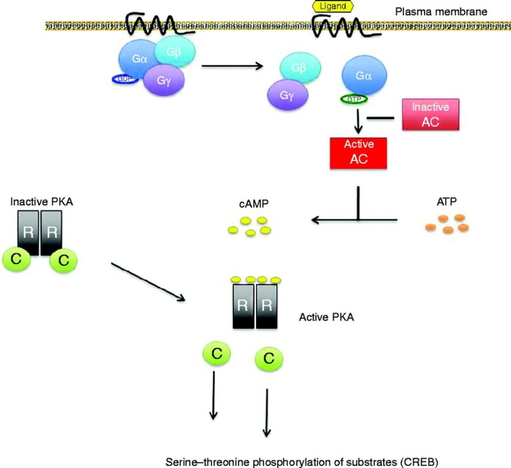 medium resolution of receptor activation ligand binding makes ga to exchange gdp to gtp ga is then freed from the g g dimer and activates adenyl cyclase ac