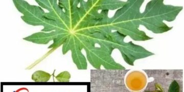 Boil Ten Slice Of Paw-paw Leaf With Guava Leaf, Drink For 7 Days To Treat This Disease