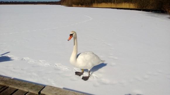 Svane på Furesøen i Påsken 2013