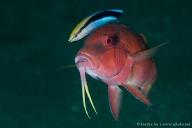 cleaner wrasse_5