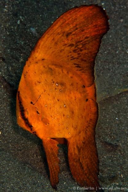 Circular batfish (spadefish) juvenile