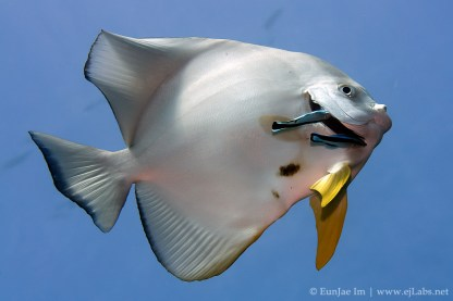 Batfish getting cleaned by cleaner wrasse